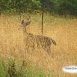 deeringoldengrass