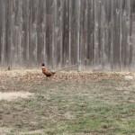 pheasant-4
